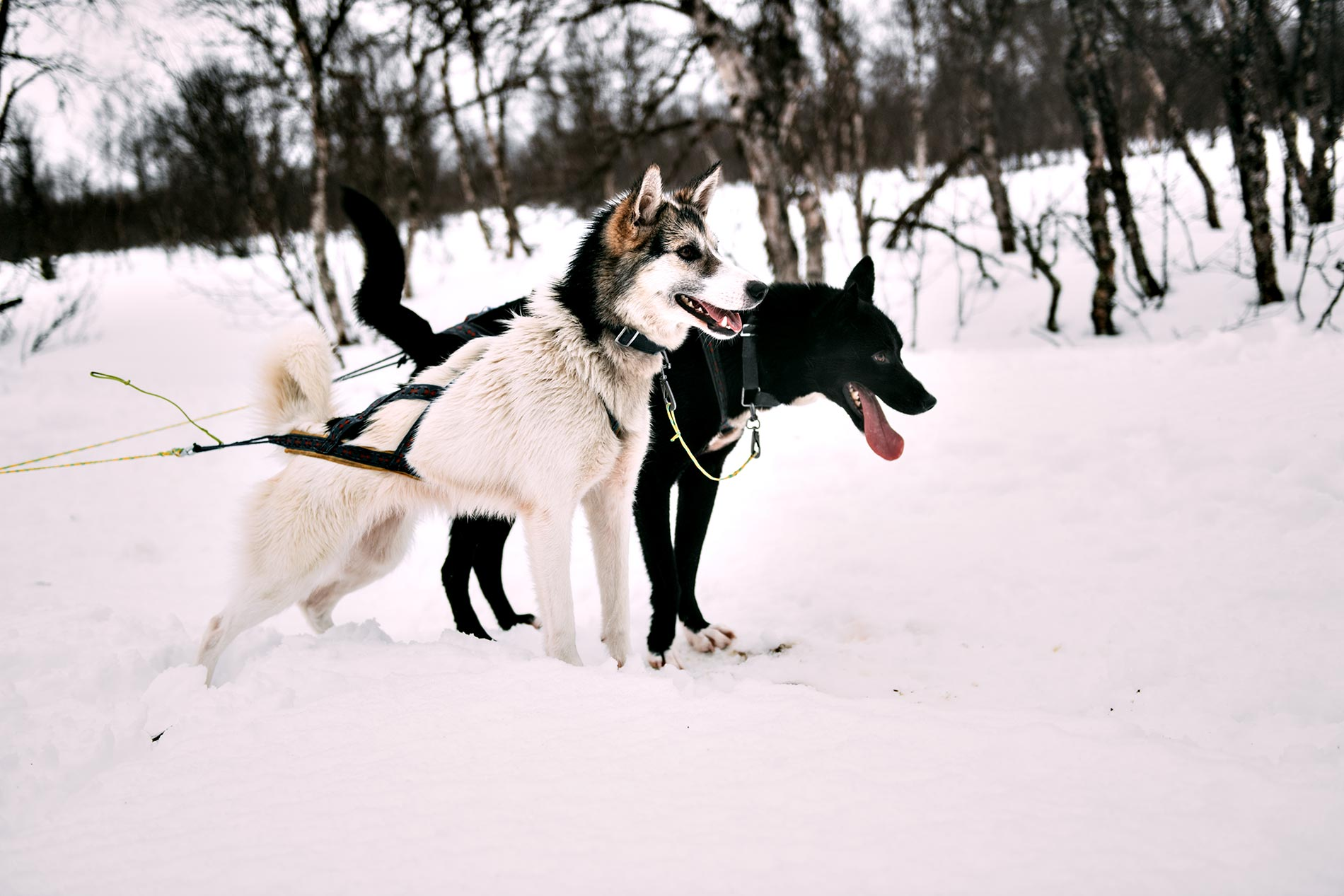 Dog Sledding, Tromso, Norway